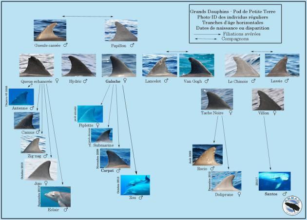 Reconnaitre les grands dauphins en Guadeloupe